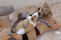 仲良しな犬とモルモット