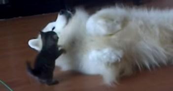 モフモフの犬に挑む子猫