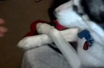 前足を組むハスキー犬