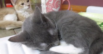 イビキをかく子猫