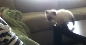 テービルからソファにジャンプする子猫