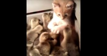 小ガモと子猫