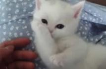 肉球をペロペロする子猫