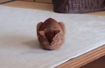 箱座りから寝落ちする猫