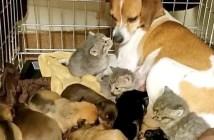 子猫を育てる犬