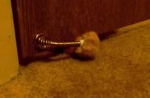 ドアストッパーで飼い主さんを起こす猫