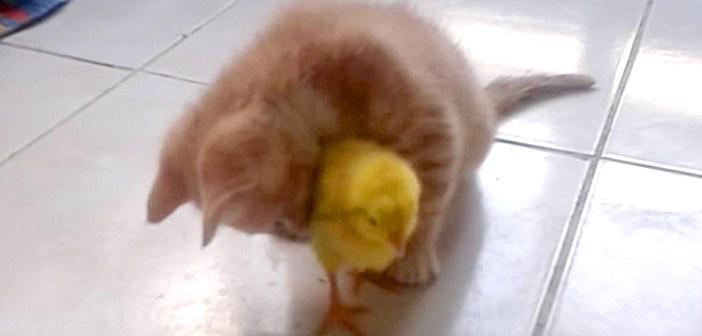 ヒヨコを抱っこする子猫