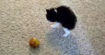 ボールを威嚇する子猫