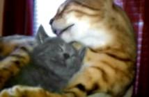 子猫をペロペロする猫