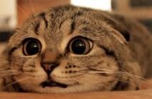 耳がペターンとなる猫