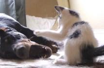 大きなドーベルマンにひるまない子猫