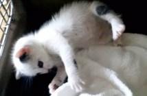 お腹いっぱいで起き上がれない子猫