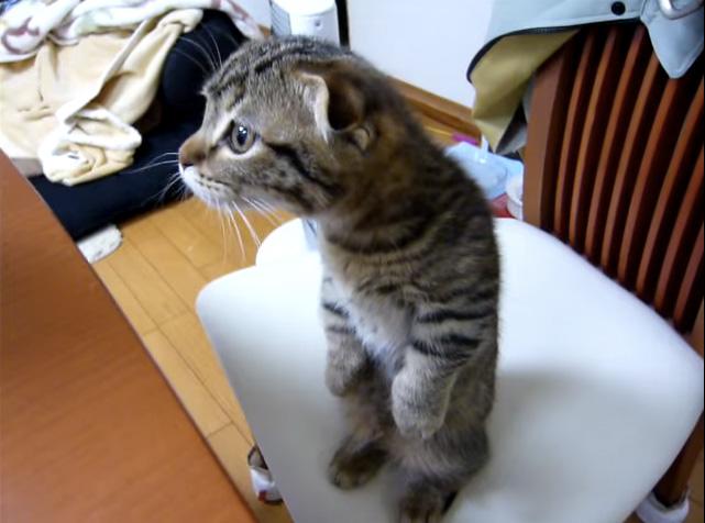 立ち上げる猫