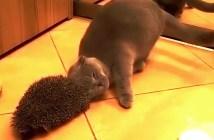 ハリネズミにスリスリする猫
