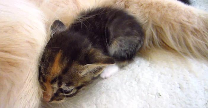 モフモフに突撃する子猫
