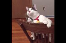 天井ファンに興味津々の猫