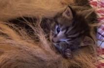シェパードのお母さんに育てられる子猫