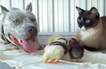 ひよこ達を育てる犬と猫