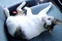 車に乗っている猫