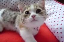 「なでて〜」とおねだりするマンチカンの子猫