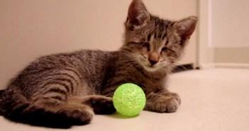 ボール遊びをする盲目の猫