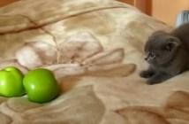 二個のリンゴに戦いを挑む子猫