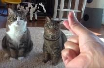 だまされる猫