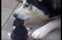母猫から子猫を守るハスキー犬