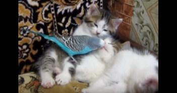 子猫の世話をするインコ