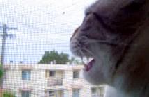 鶏の鳴き真似をする猫