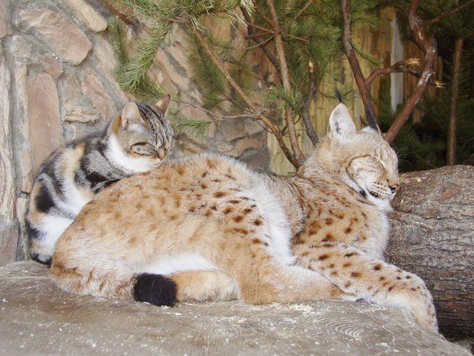 いっしょに昼寝するオオヤマネコと猫