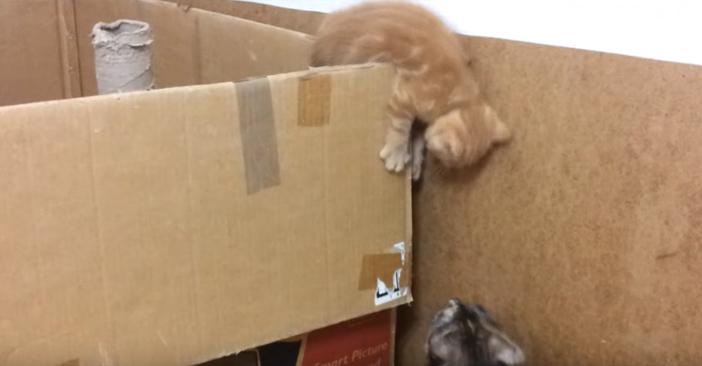 ダンボールから垂れ下がる子猫