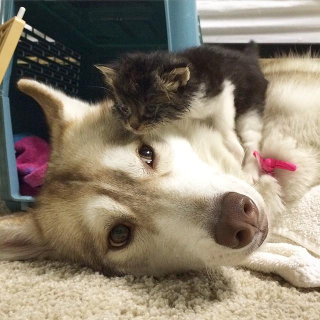 ハスキー犬の頭の上に登る子猫