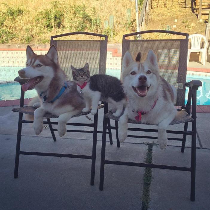 椅子に座るハスキー犬と子猫