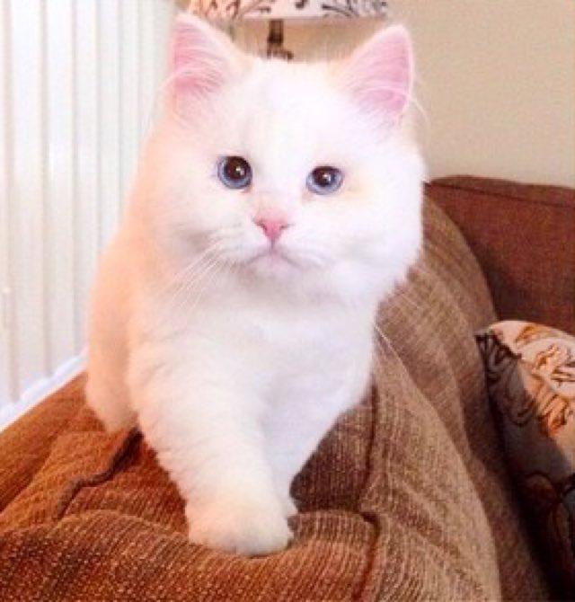フワフワの美人猫