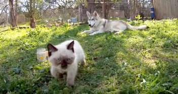 「そっちに行くと危ないわよ」子猫を心配するハスキー犬のお母さん。子猫が遠くの方まで行くと… ( *´艸`)♡