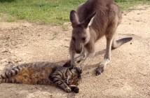 猫を撫でるカンガルー