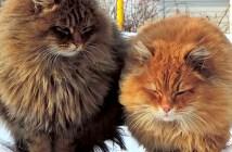 フッサフサの猫サイベリアン