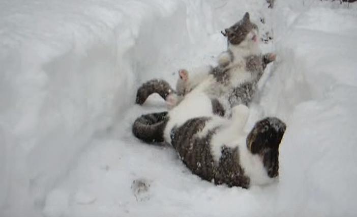 雪の中でじゃれる猫