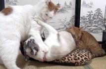 ストール争奪戦を繰り広げる猫