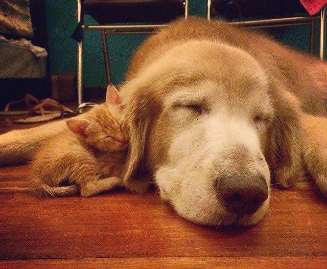 いっしょに眠る子猫とゴールデンレトリバー