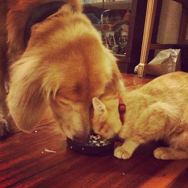 ご飯を一緒に食べる子猫とゴールデンレトリバー