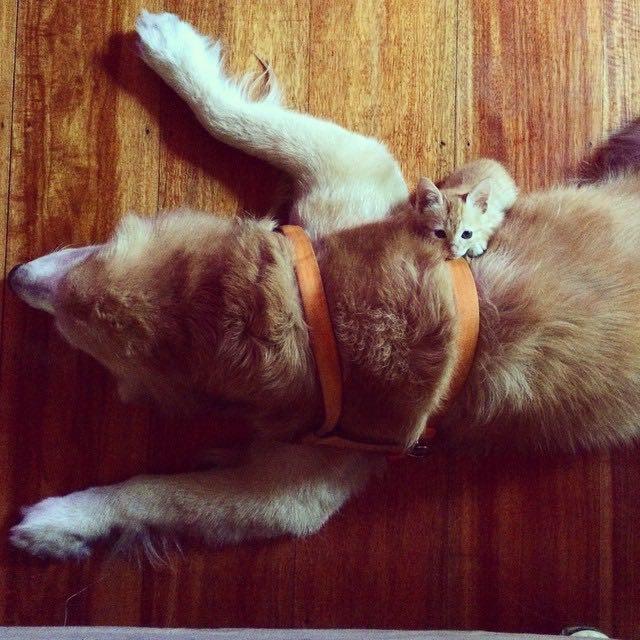 ゴールデンレトリバーに乗る子猫