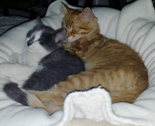 いっしょに子猫と眠る大人猫
