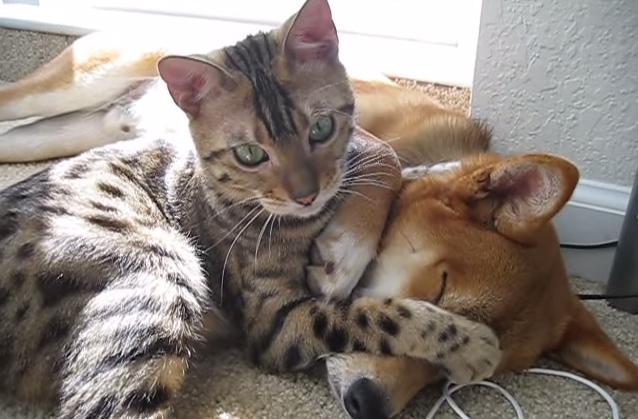 柴犬の顔の上に乗る猫
