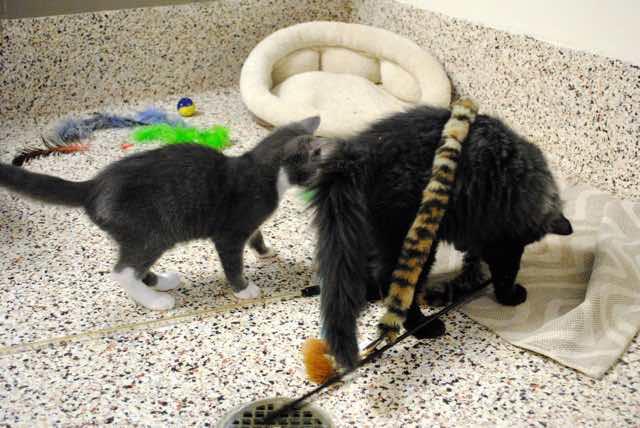 いっしょに遊ぶ二匹の猫