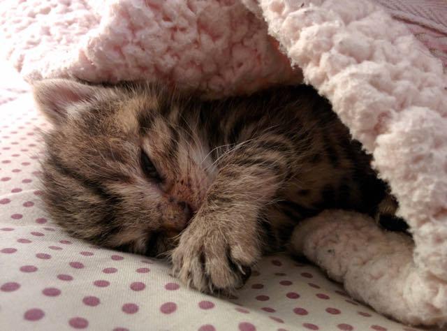 布団で眠る子猫