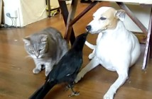 猫と犬にエサをあげるカラス