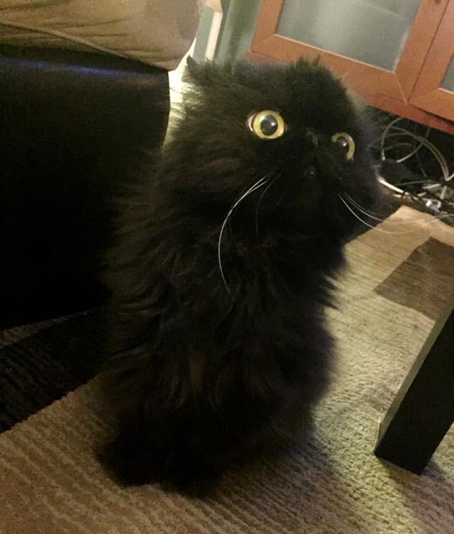 フクロウのような猫