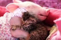 いっしょに眠る子ブタと子猫